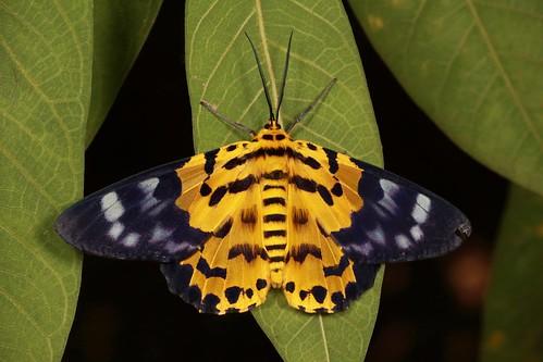 False Tiger Moth (Dysphania militaris, Geometrinae, Geometridae)