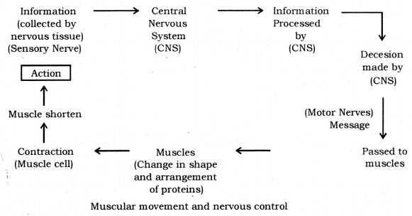 Control and Coordination Class 10 Notes Science Chapter 7 6