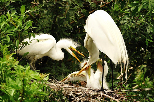 southwestflorida wildbirds localzoo usa greategret chicks ardeaalba bird animal carnivore oldworld largebird tropical warmertemperate nestclosetowater ardeidaefamily pelecaniformesfamily feedsonfish feedsoninsects frogs smallmammals smallreptiles spearwithbill standingstill waitsmotionless slowlystalk sueroehl panasonic lumixdmcgh4 100400mm lens handheld cropped photographedinthemiddleofthebay ngc coth5