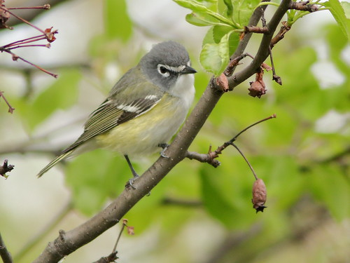 Blue-headed Vireo 03-20190509