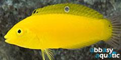 Golden rainbowfish