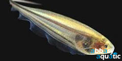 Glass knifefish