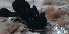 Frogfish Black