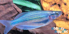 Batanta Rainbowfish