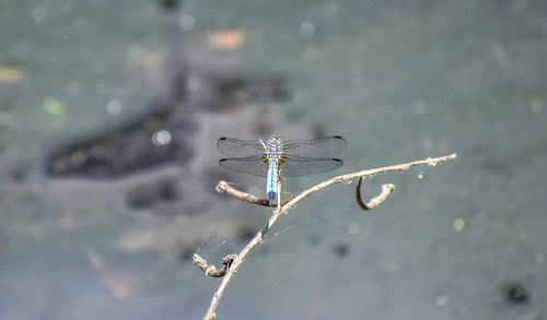 dragonfly water blue
