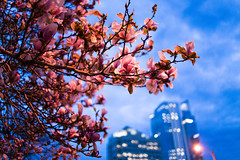 Downton Cherry Blossoms at Twilight