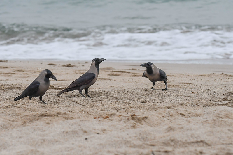 3 Crows at the Beach