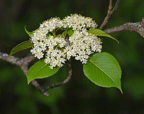 Nannyberry -- Viburnum lentago