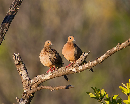 mourning dove zenaida macroura playa pesquero holguin holguín province cuba doves pair birds bird branch couple ipm