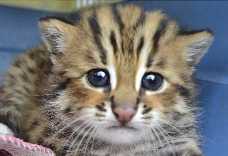 石虎是台灣僅存的野生貓科動物。照片提供:苗栗縣政府農業處自然生態保育科。