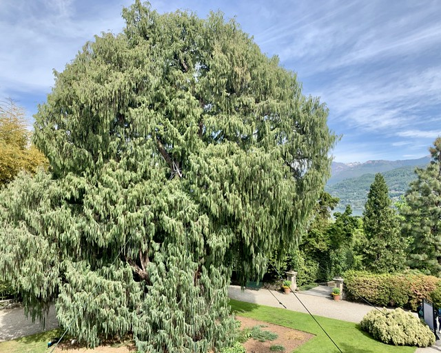 Kashmir Cypress - Lago Maggiore