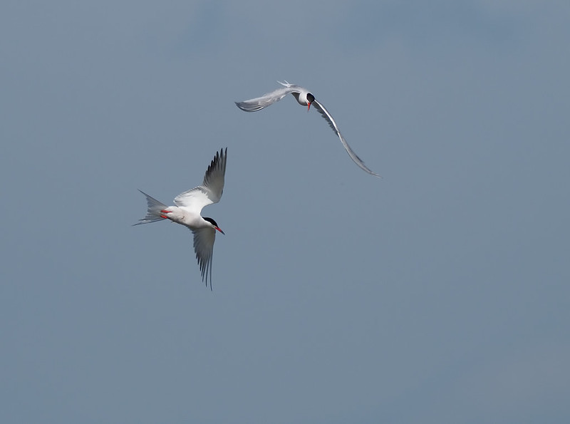 Fun with Common Terns