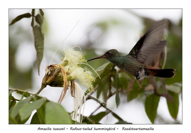 Rufous-tailed hummingbird #7