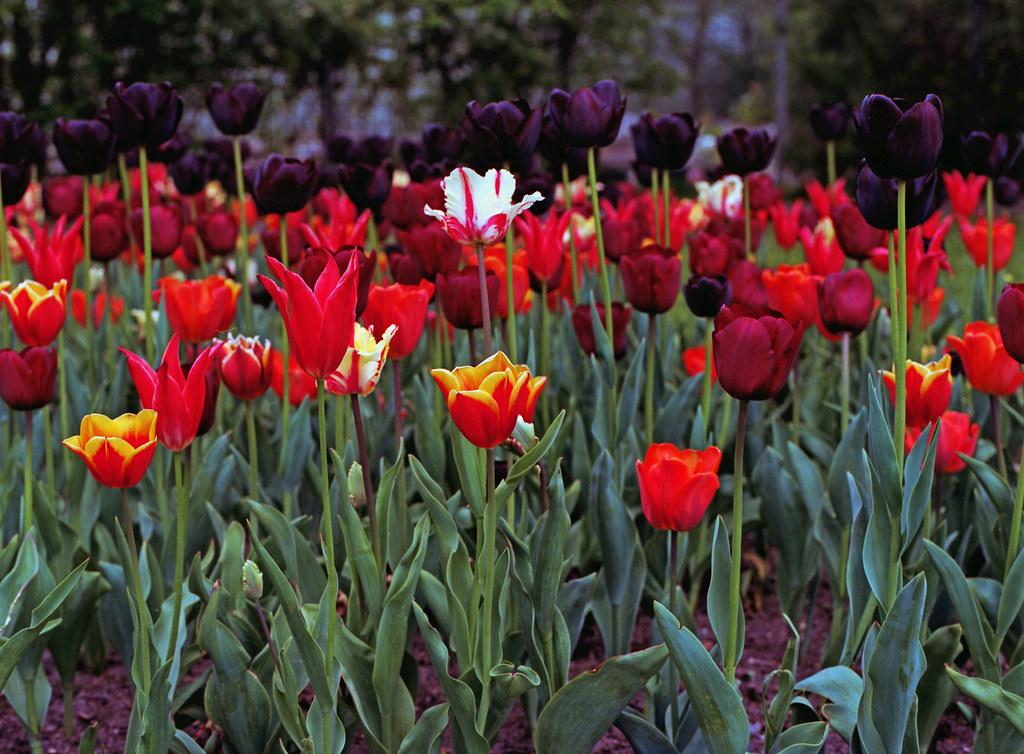 Berlin Britzer Garten Tulipan 2019 | Hasselblad 501C A16 4