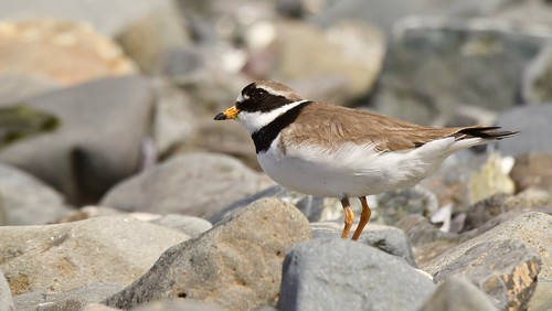 Ringed Plover...Belfast Harbour