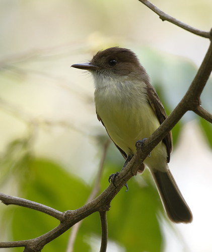 Sad Flycatcher_19-03-13_Myiarchus barbirostris | by Langham Birder