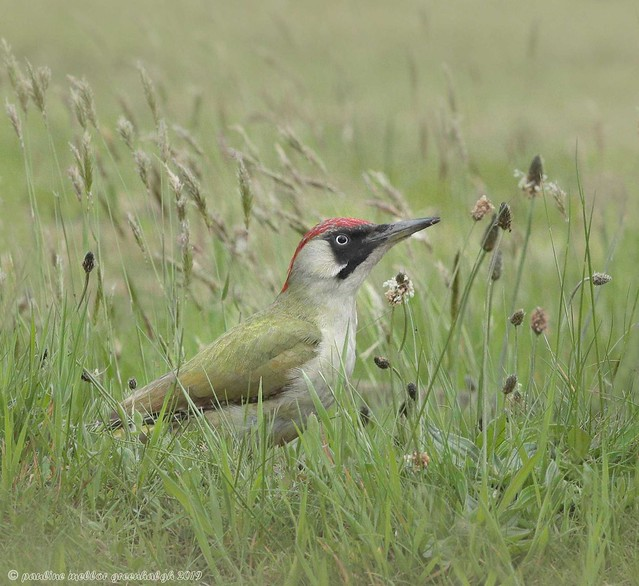 Pg190210 Green Woodpecker female