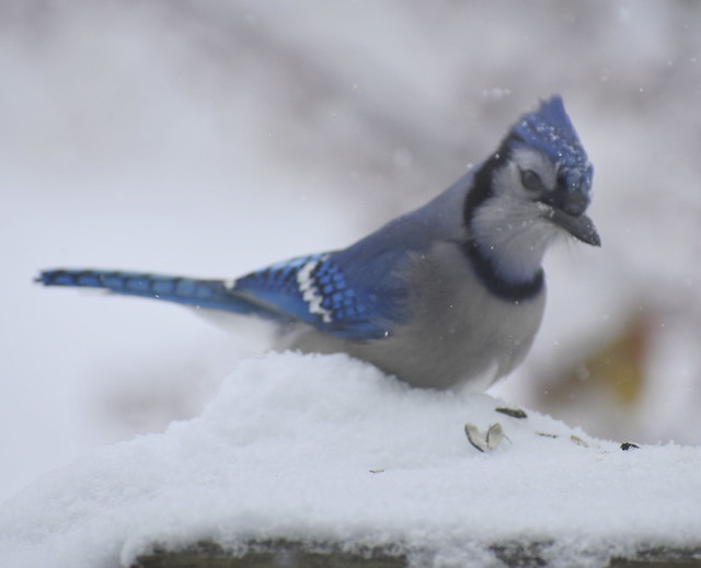 Winter Bird at or near Feeder