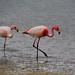James flamingos Bolivia by ichauvel