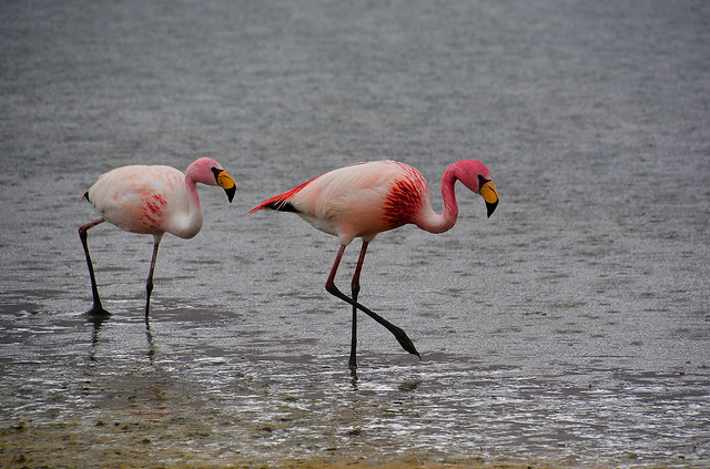 James flamingos Bolivia