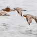 Red Knots by tresed47