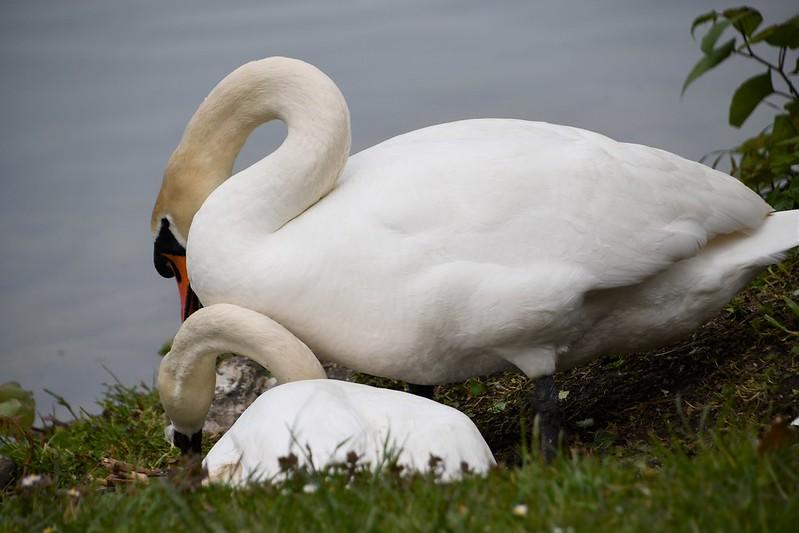 Swans nesting 18.05 (9)