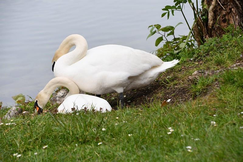 Swans nesting 18.05 (7)
