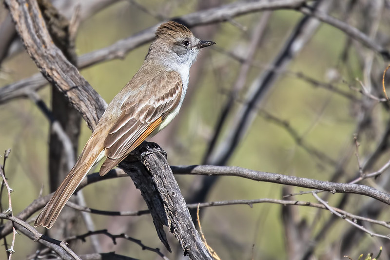Ash-throated-Flycatcher-66-7D2-041919