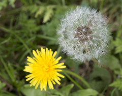 Dandelion and Fairy