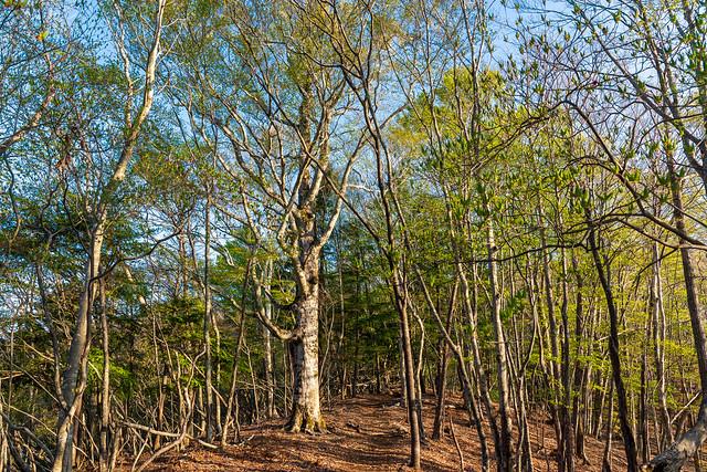 ブナらしき大木