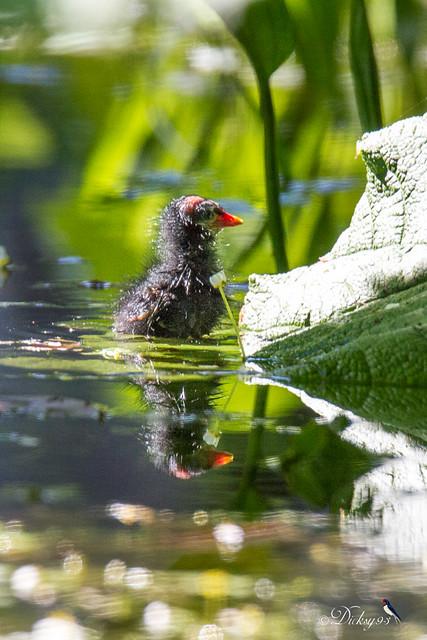 Poussin poule d'eau (Gallinula Chloropus)