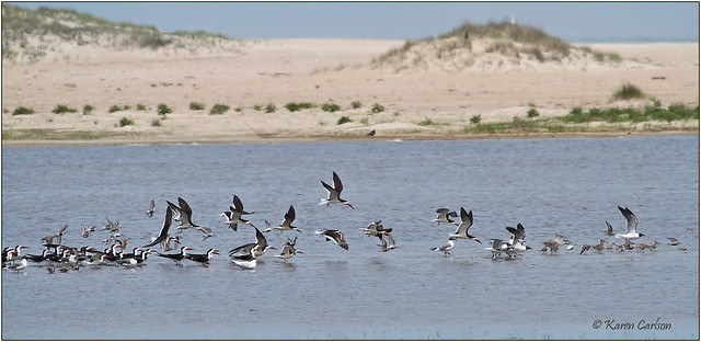 Black Skimmers (Rynchops niger) [Explored]