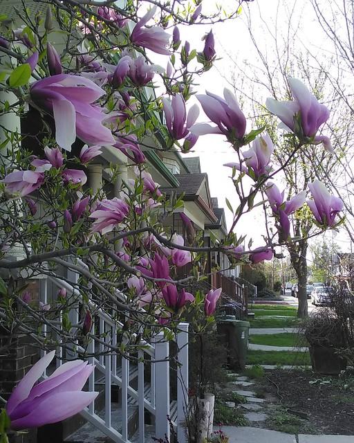 Magnolia flowers of Dovercourt Road #toronto #dovercourtvillage #dovercourtroad #flowers #spring.#magnolia