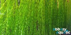 Vallisneria spiralis torta