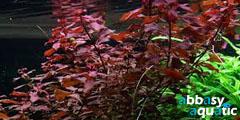 Ludwigia natan palustris