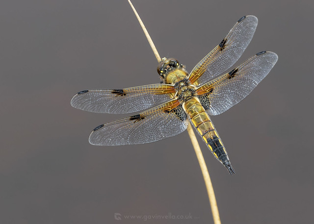 Four-spotted Chaser 19th May