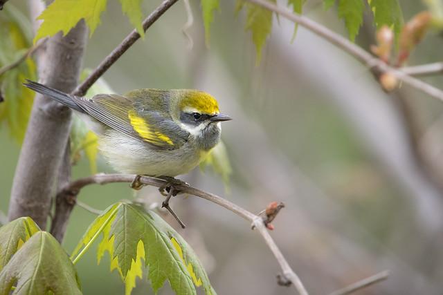 Chroniques d'Angrignon | Paruline à ailes dorées | Parc Angrignon | Arrondissement Le Sud-Ouest | Montréal