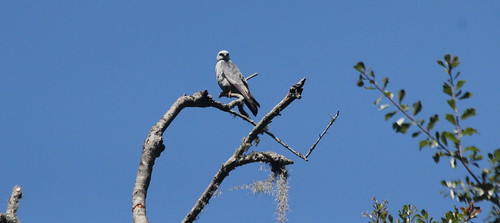 Mississippi Kite at HG Sub, GNV