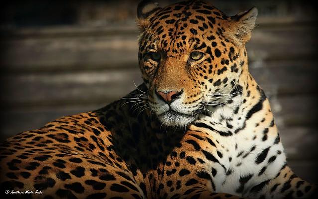 Portrait of the beautiful  Jaguar (Panthera onca) - Jaguár portré, Ο ιαγουάρος