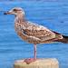 Western Gull Immature 4226
