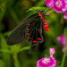 The Semperi Swallowtail Butterfly