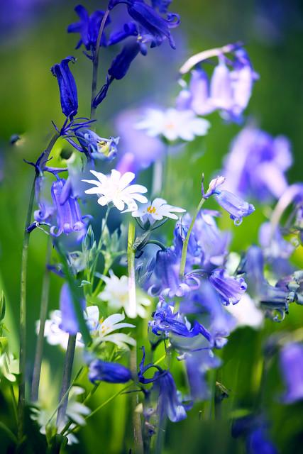 Bluebells and Starwort (Stellaria) No1