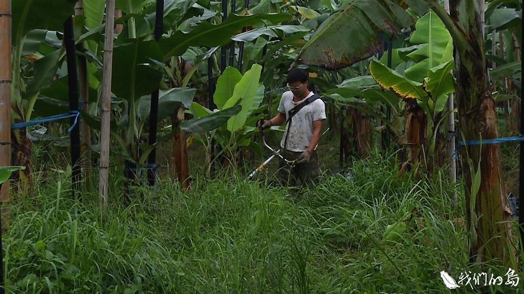 郭合沅以不用農藥、化學肥料和除草劑,生態共生的原則來耕耘香蕉園。