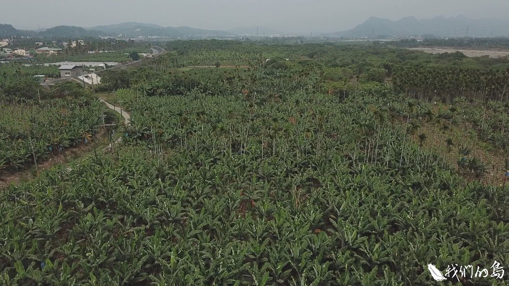 在高屏溪上游旗山溪的河畔,他們共有七分大的香蕉園,種有香蕉一千株。