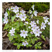 Sharp-lobed Hepaticas (Anemone acutiloba)