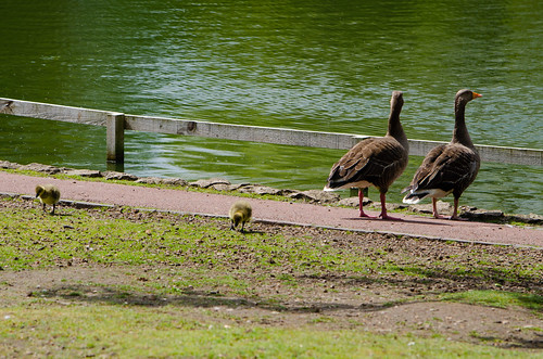 Greylag family, West Park, a change of scene