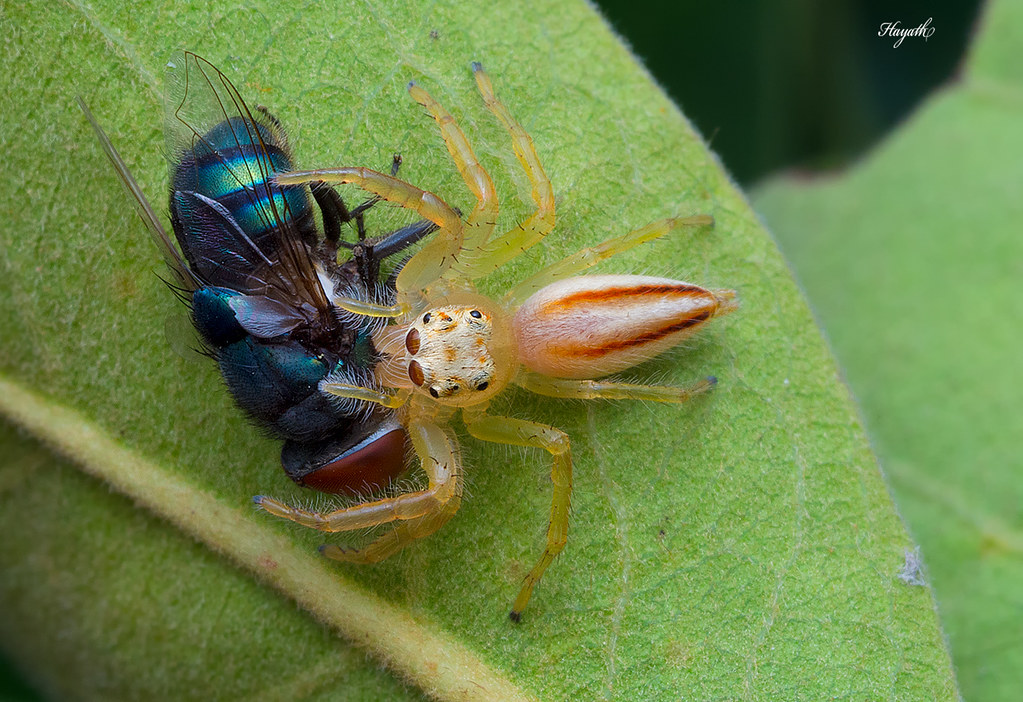 Two striped jumper (Telamonia sp) female with a bluebottle fly kill