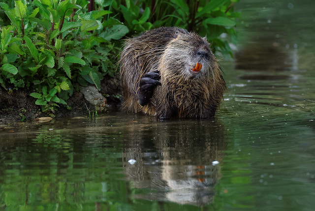 Funny Nutria (3/3) please zoom in for more details
