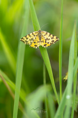 Speckled Yellow Moth | Pseudopanthera macularia