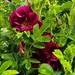 2019 Germany // Unser Garten - Our garden // im Mai // Rose Wild Eagle - Rugosa // Ruf